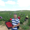 Harvesting at Fresh Fruti strawberry plantation, Kosovo