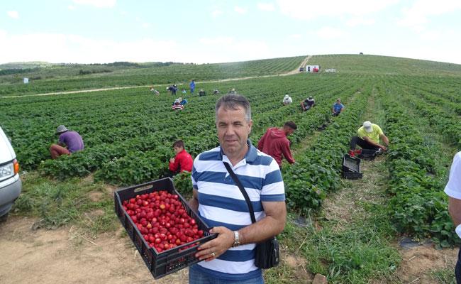 Harvesting at Fresh Fruti strawberry plantation, Kosovo
