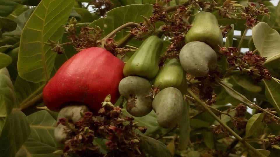 Beekeeping increased production of cashew nuts by 15% in the Séguéla and Tortiya diamond mining communities.