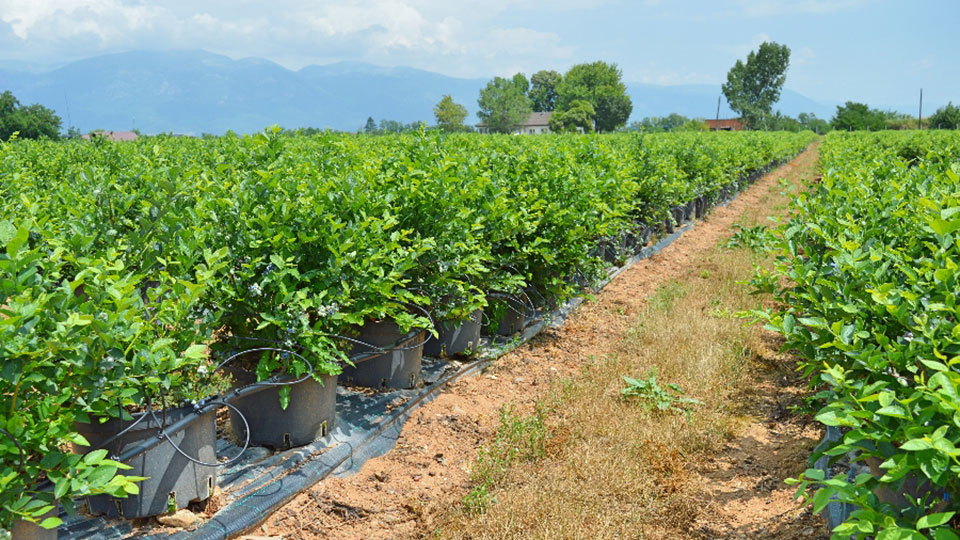 Boost Berries Blueberry Farm is a model for local agribusinesses in Kosovo.