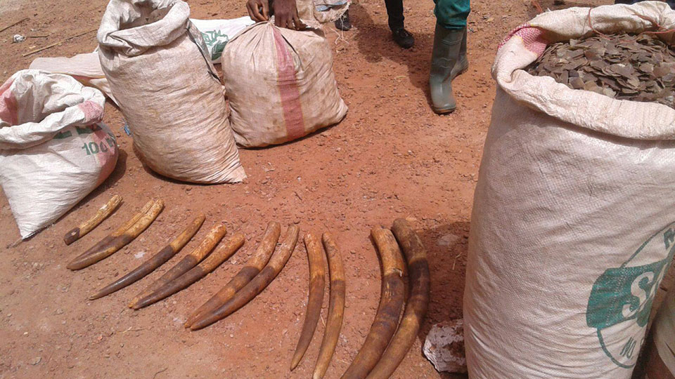 Confiscation of illegal caught elephant tusks.