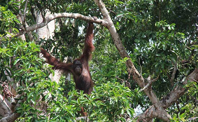 Habitat destruction, illegal poaching, and wildlife trafficking threaten endangered species like the Bornean orangutan