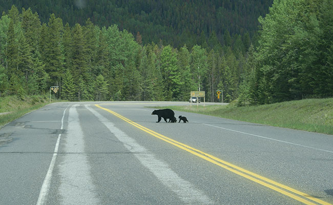 Alberta Wildlife Watch