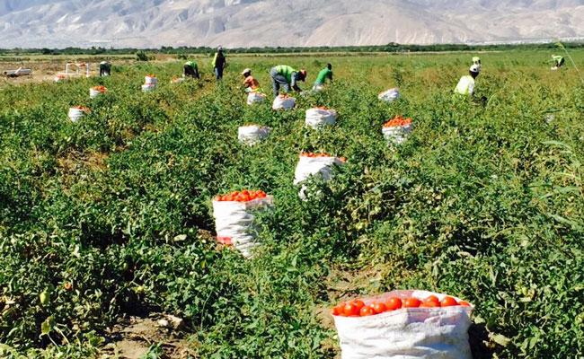 Gleaning tomato yields in a crop field in Haiti