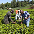 The Tetra Tech team discusses the impact of frost on local farmers' tea leaf harvest in Kericho, Kenya