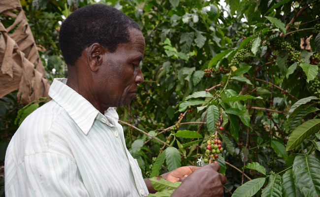 A farmer in Masaka District, Uganda, carefully tends to his coffee plants.