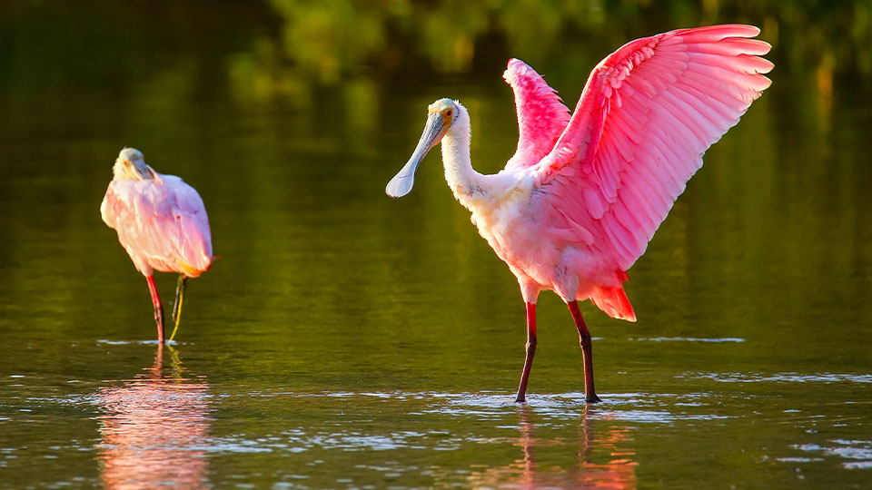 Two pink birds native to Sanibel Island are standing in water near the island.