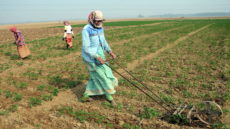 Women farmers tilling their land for potato crops.