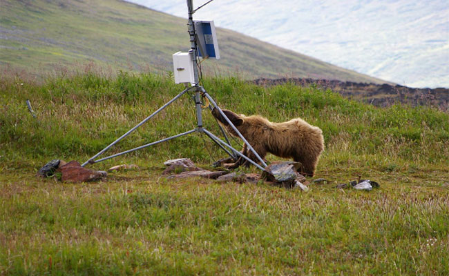 Grizzly bear and weather station Mactung Camp, Yukon