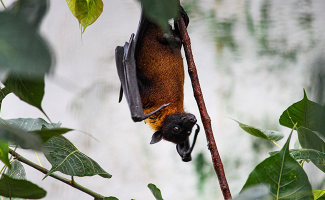 A bat hanging from a branch in the jungle. Bats are a common vector and host of zoonotic diseases.
