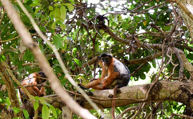 Red Colobus Monkey in a tree, Gambia